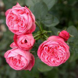 nostalgische rosa Freilandschnittrose